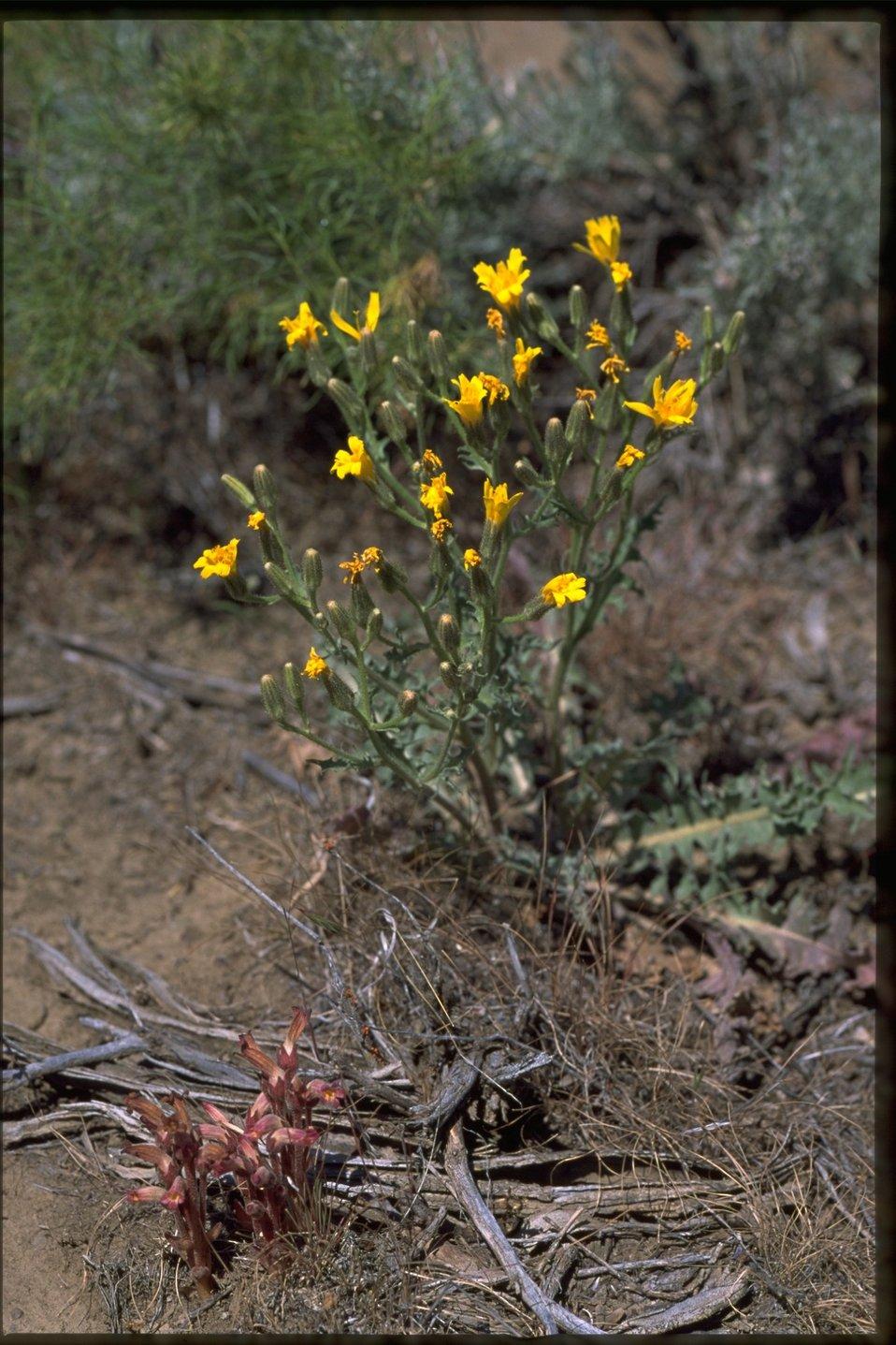 Farshot of Crepis.