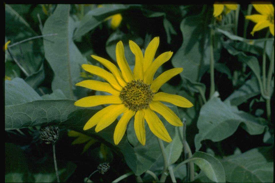 Closeup shot of Arrow-leaf balsamroot, Balsamorhiza sagittata.