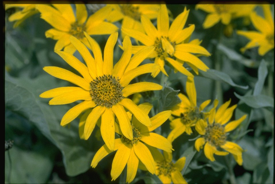 Closeup shot of Arrowleaf Balsam Root (Balsamorhiza sagittata).
