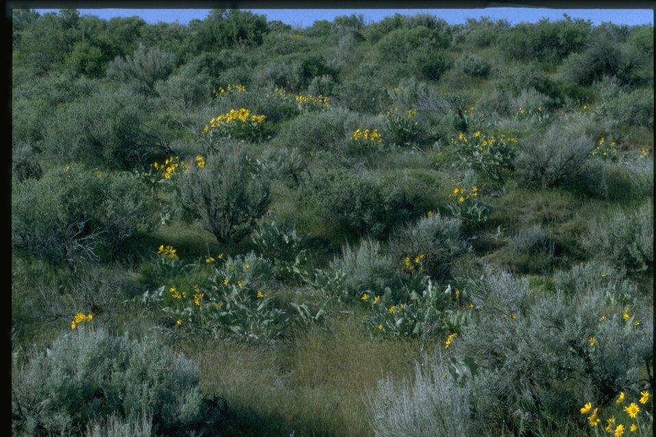 Arrowleaf Balsam Root (Balsamorhiza sagittata) habitat.
