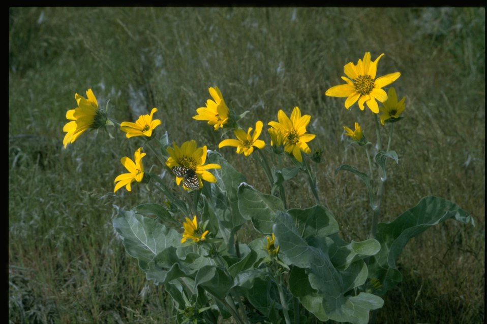 Medium shot of Arrowleaf Balsam Root (Balsamorhiza sagittata).