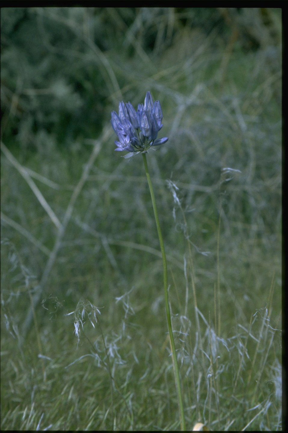 Medium shot of  Douglas' Triteleia wildflower.
