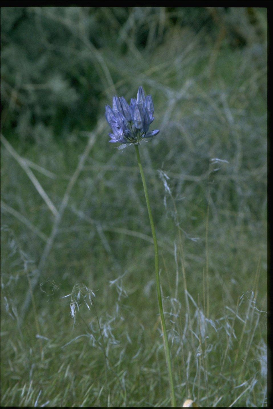 Medium shot of  Douglas' Triteleia wildflower.