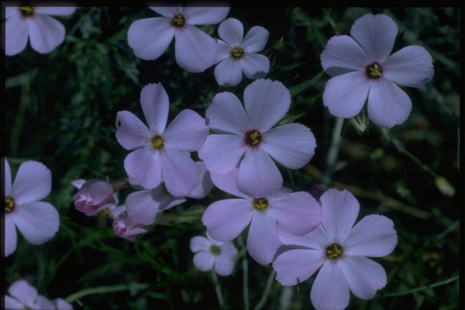 Medium shot of Phlox wildflowers.l