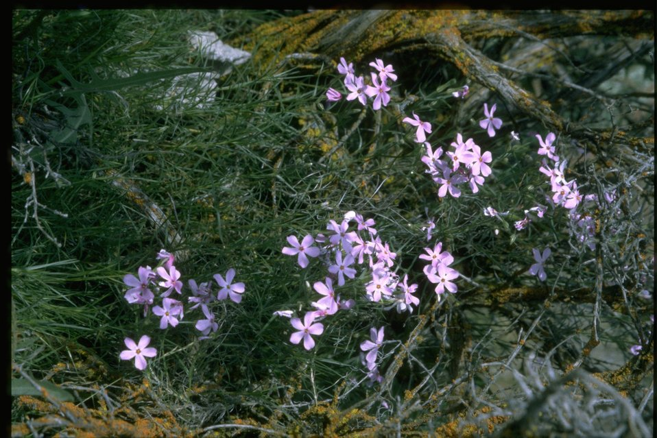 Medium shot of Phlox wildflowers.