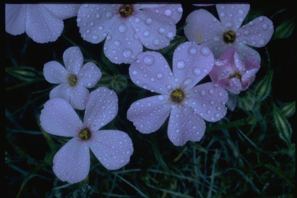 Medium shot of Phlox wildflowers.