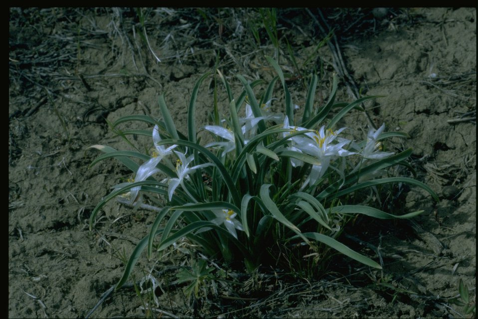 Medium shot of Star Lily; Sand Lily; Mountain Lily (Leucocrinum montanum).