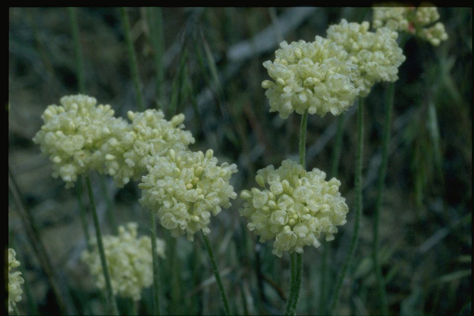 Closeup of Buckwheat wildflowers.