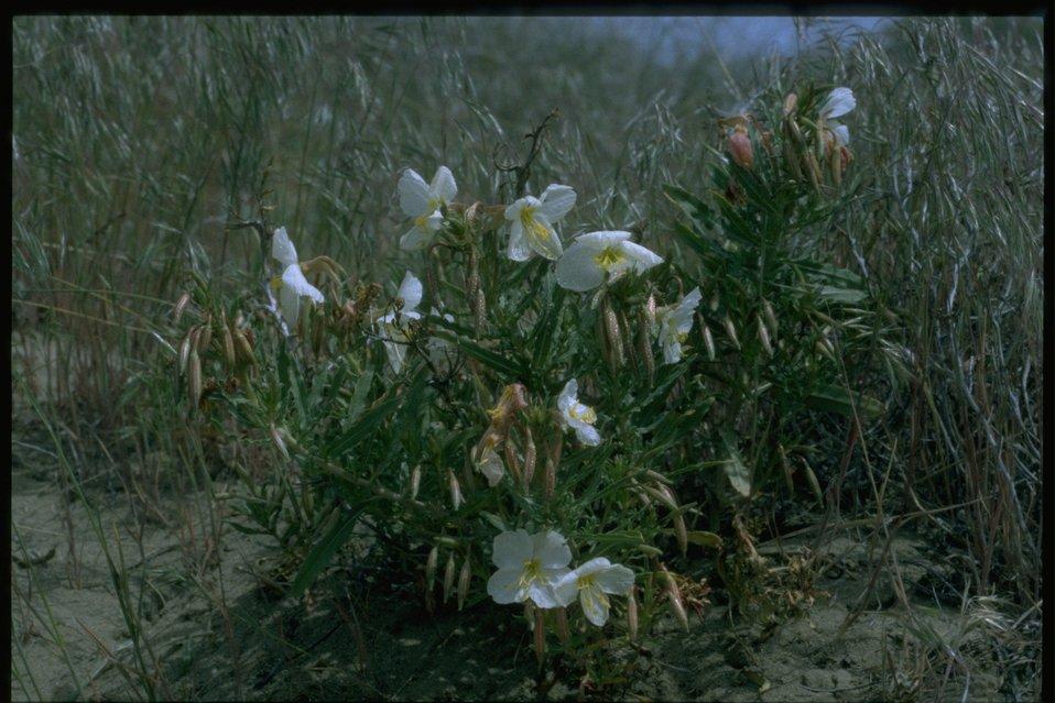 Medium shot of Sand Primrose habitat.