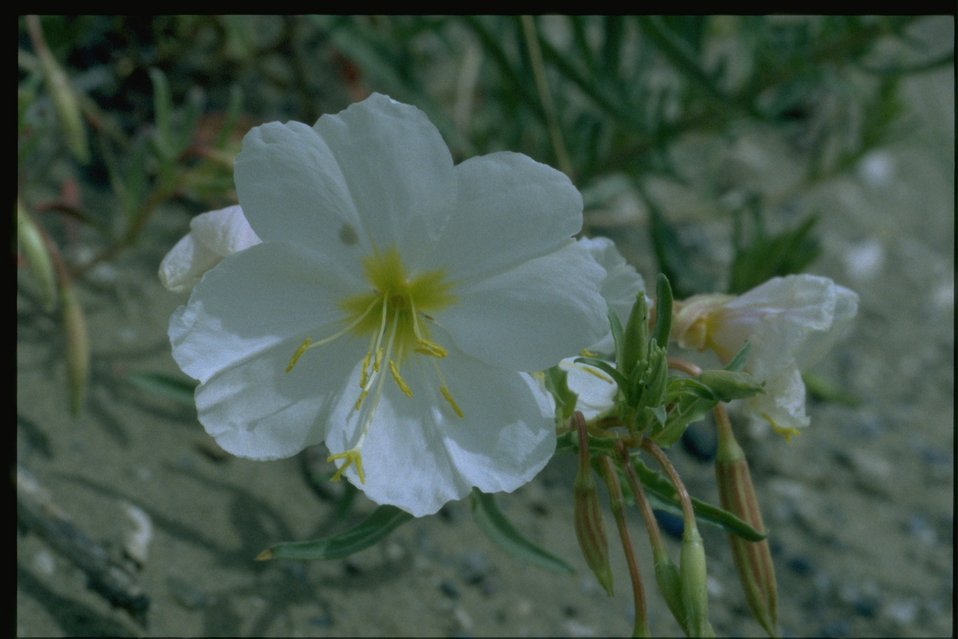 Closeup shot of Primrose wildflower.