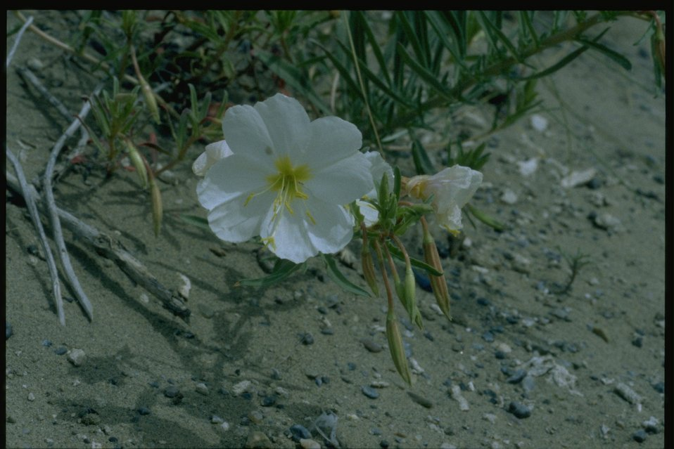 Closeup shot of Primrose wildflower.