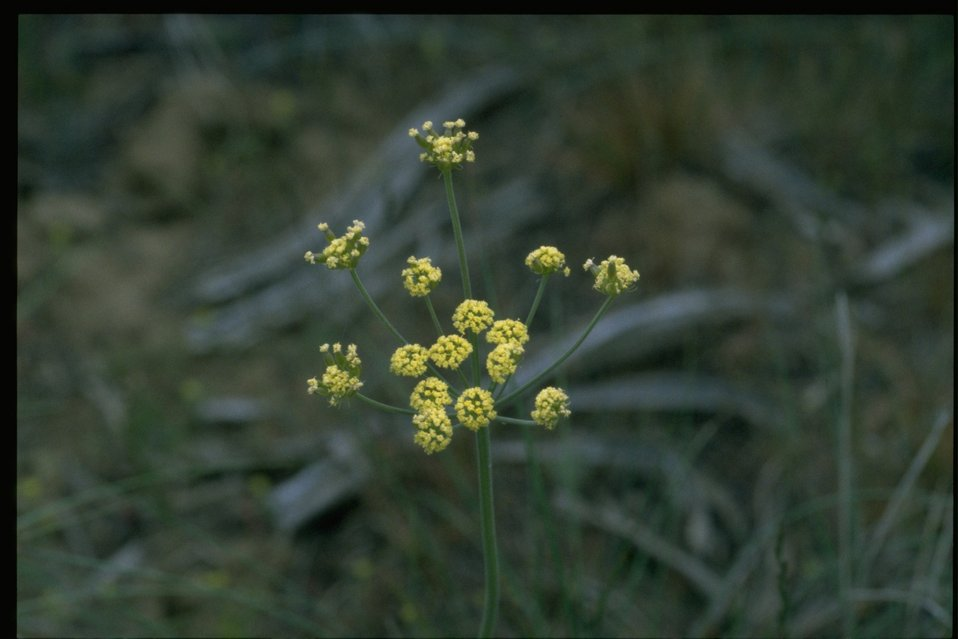 Medium shot of Sweet Fennel (Foeniculum vulgare).