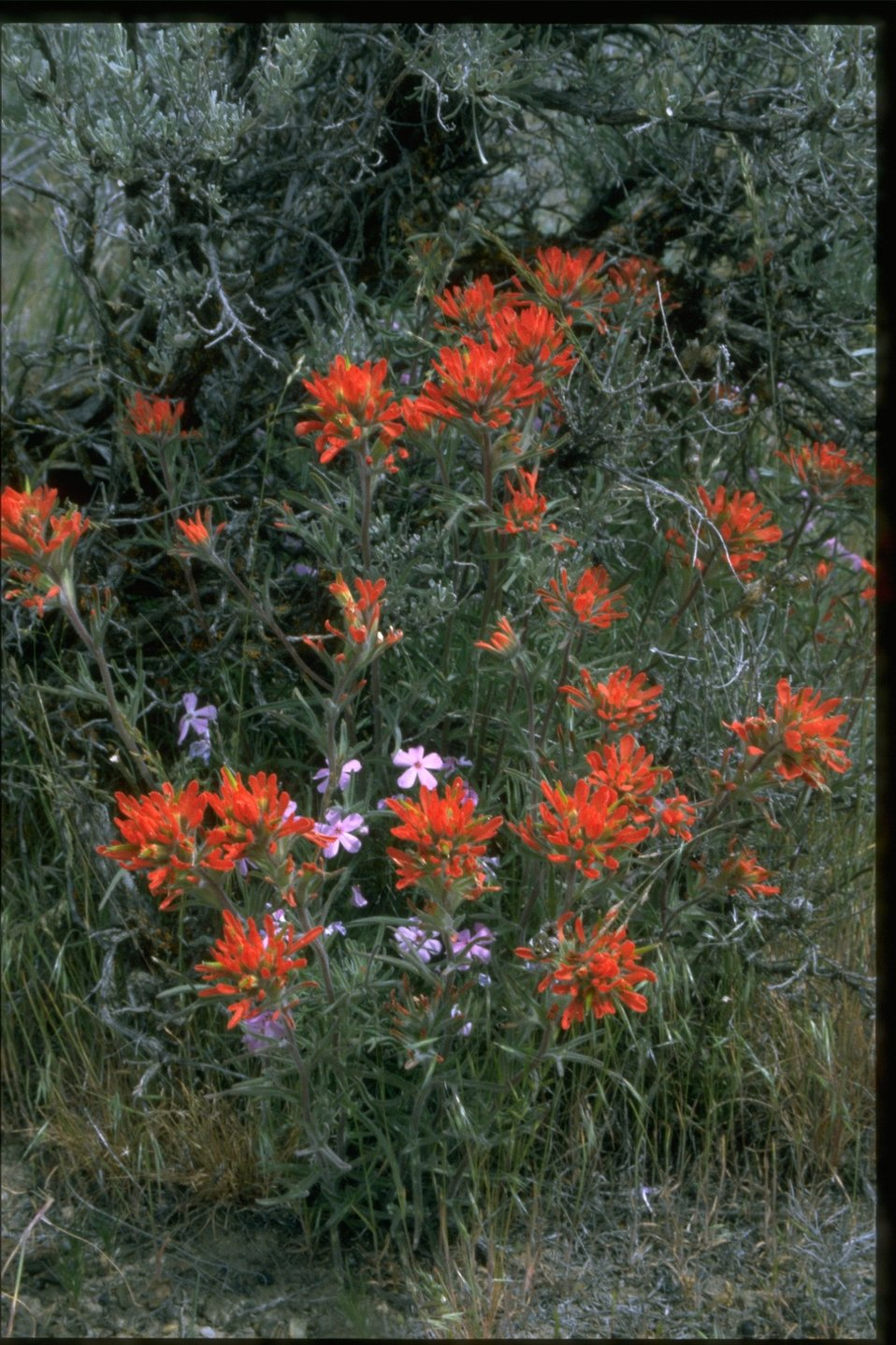 Medium shot of Indian Paintbrush (Castilleja linariaefolia) and Phlox.