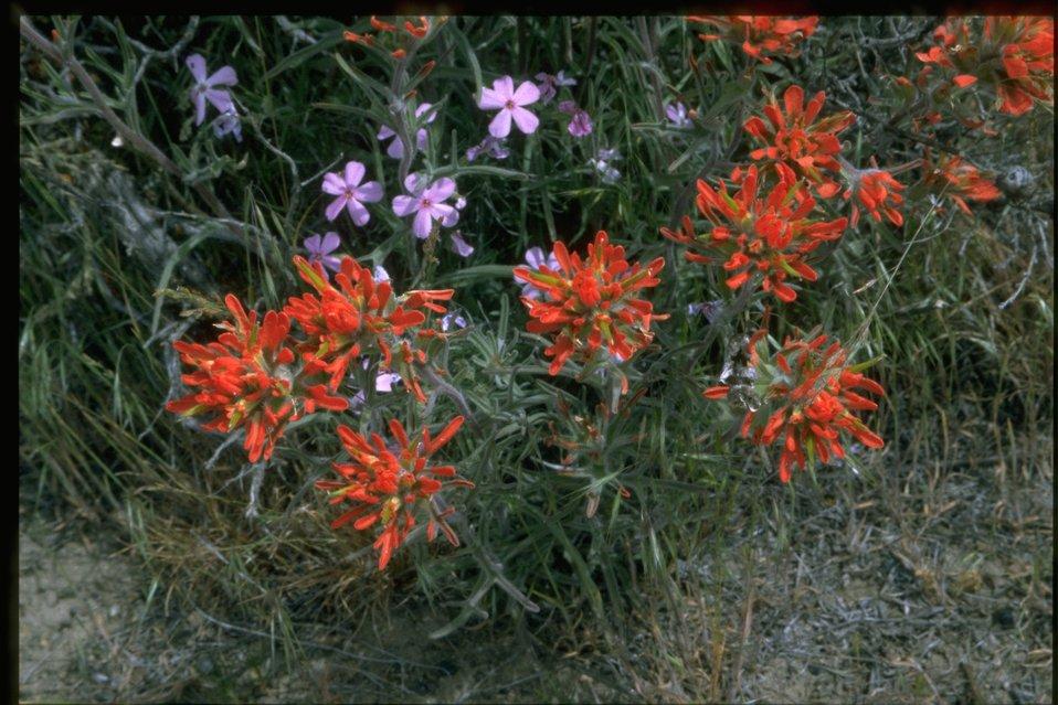 Medium shot of Indian Paintbrush (Castilleja linariaefolia) and Phlox wildflowers.