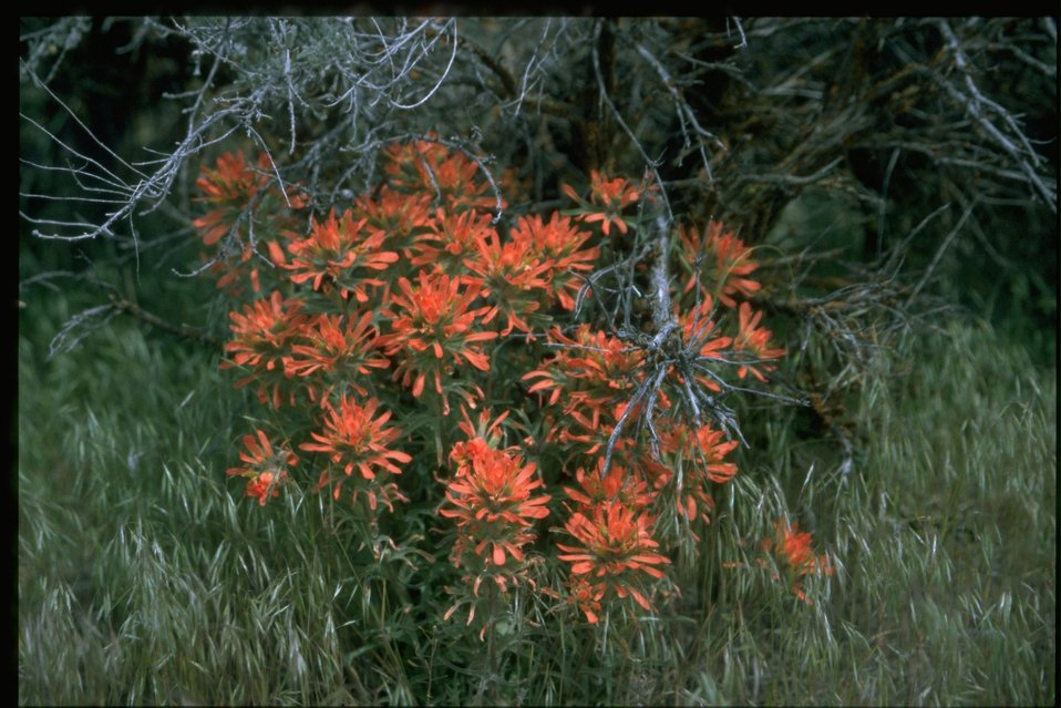 Medium shot of Indian Paintbrush (Castilleja linariaefolia).