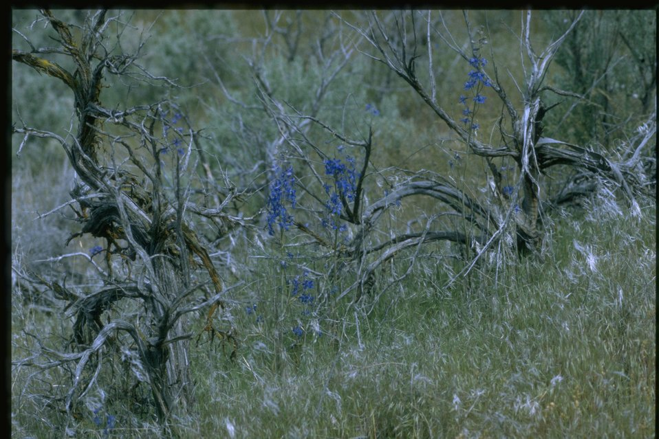 Medium shot of Larkspur habitat.