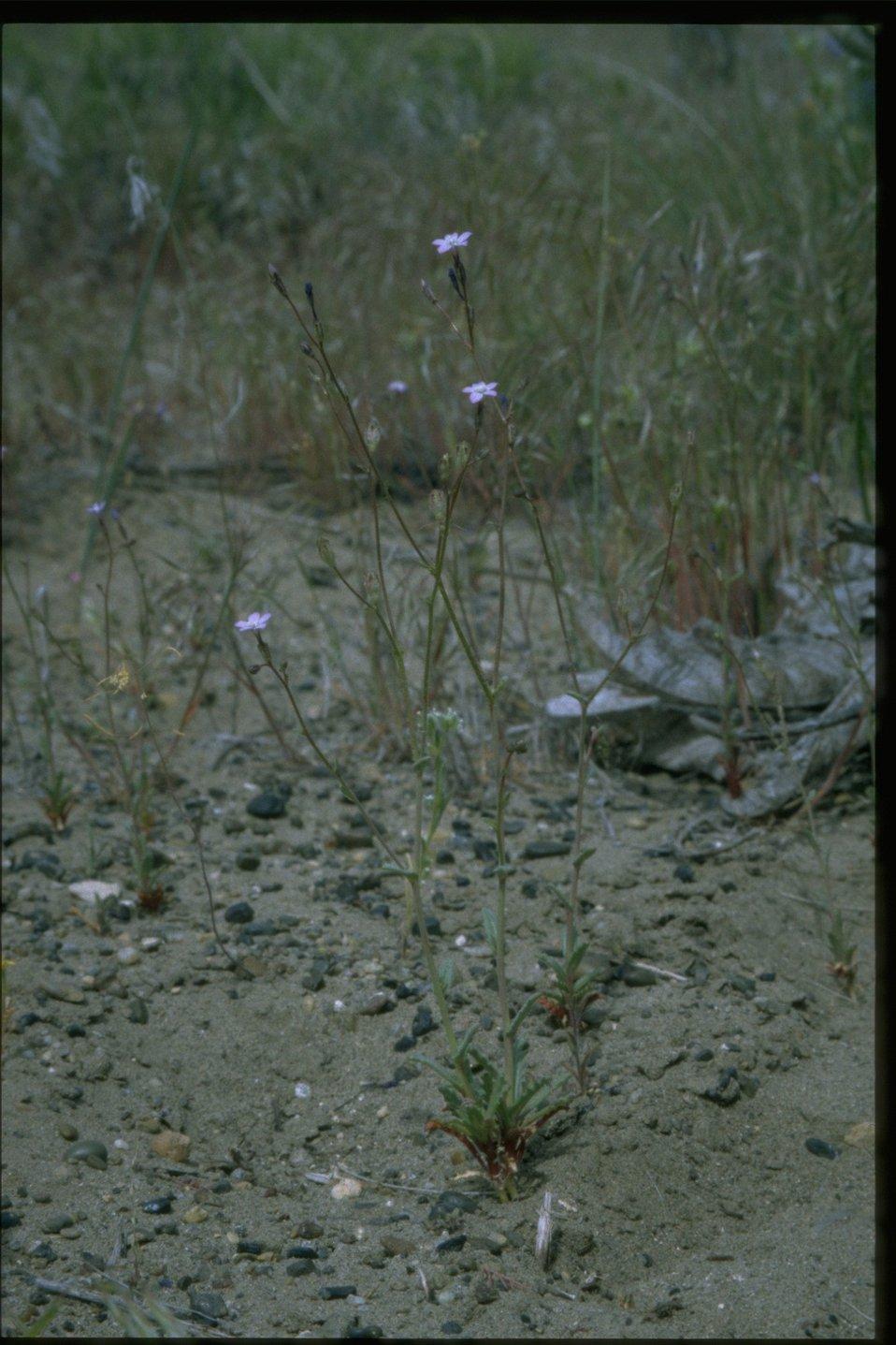 Farshot of Phacelia habitat.