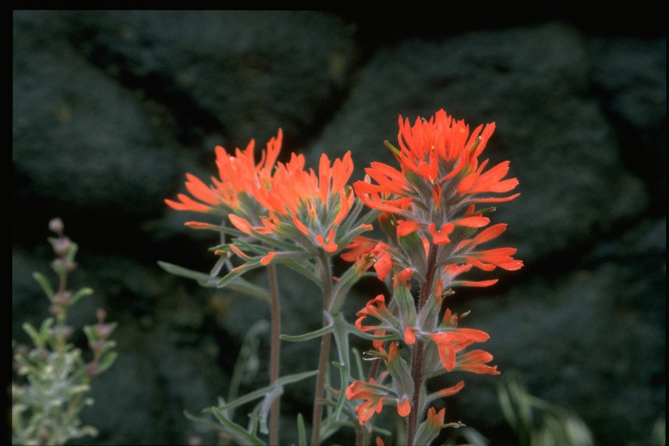 Closeup shot of Indian Paintbrush (Castilleja linariaefolia).