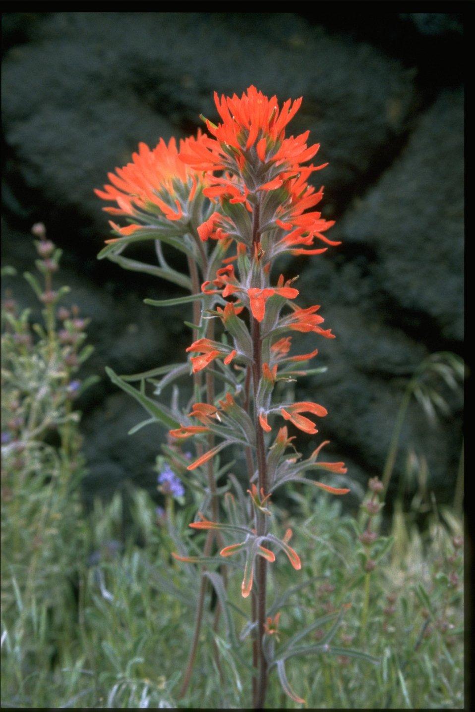 Closeup shot of Indian Paintbrush (Castilleja linariaefolia).