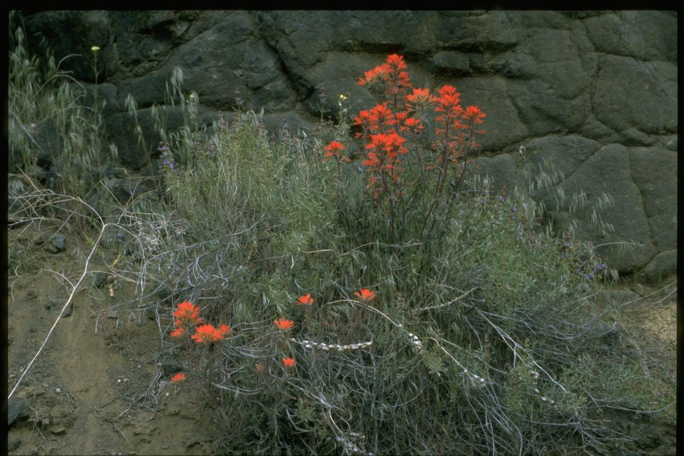 Medium shot of  Indian Paintbrush (Castilleja linariaefolia) against black rocks.
