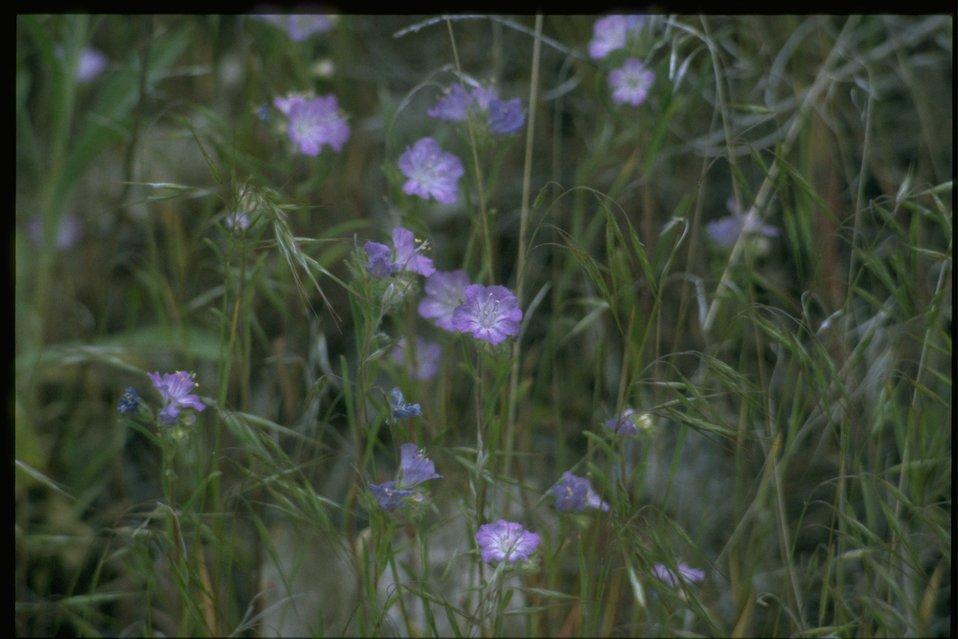Medium shot of Phacelia habitat.