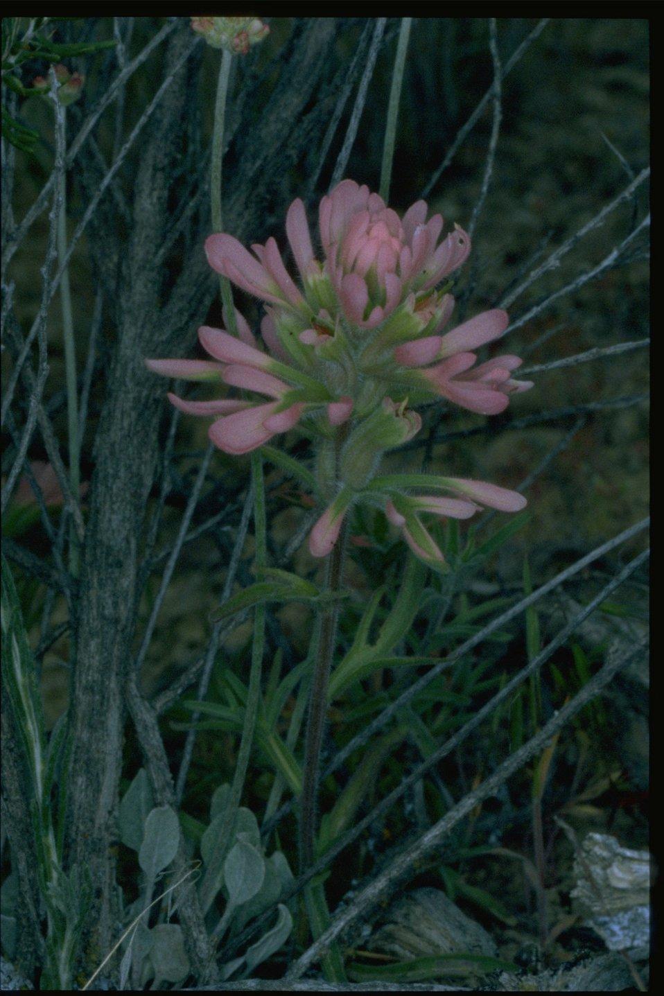 Medium shot of Pink Indian Paintbrush wildflower.