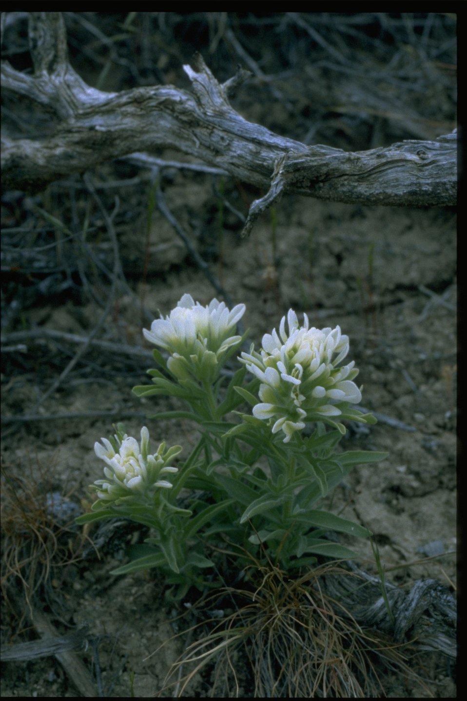 Medium shot of Sand Lily wildflowers.
