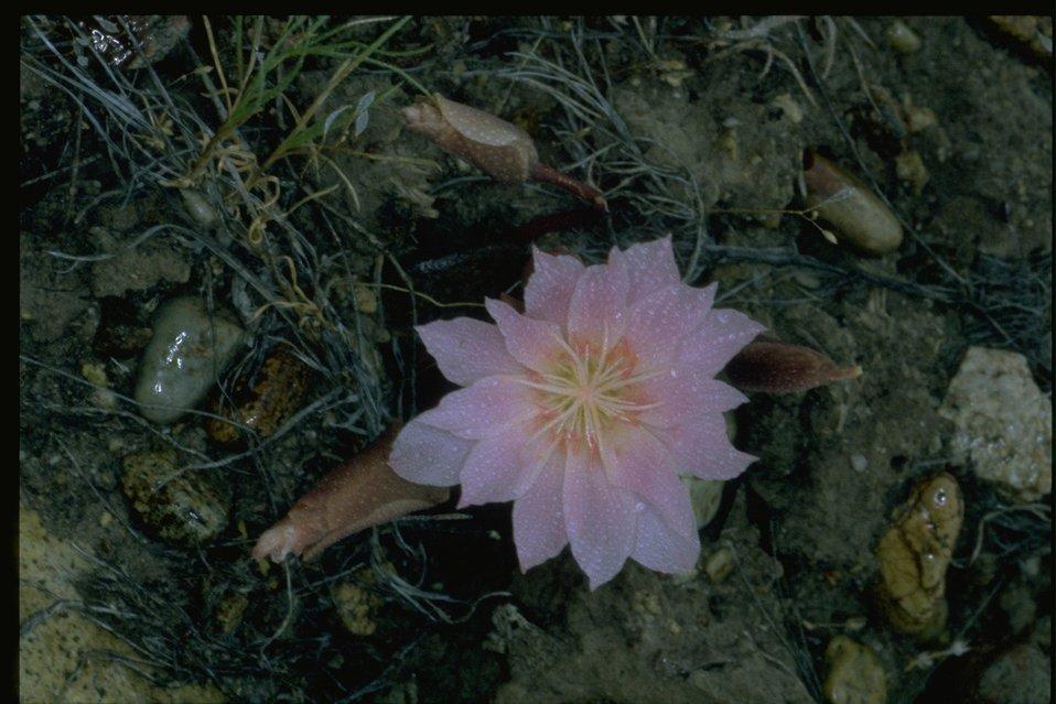 Medium shot of Bitterroot wildflower.