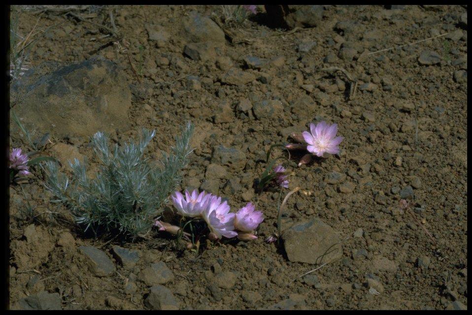 Farshot of Bitterroot wildflowers and stiff sagebrush