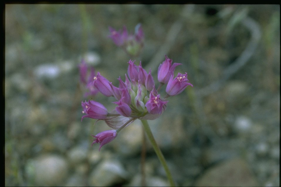 Closeup of wild Onion blossom.