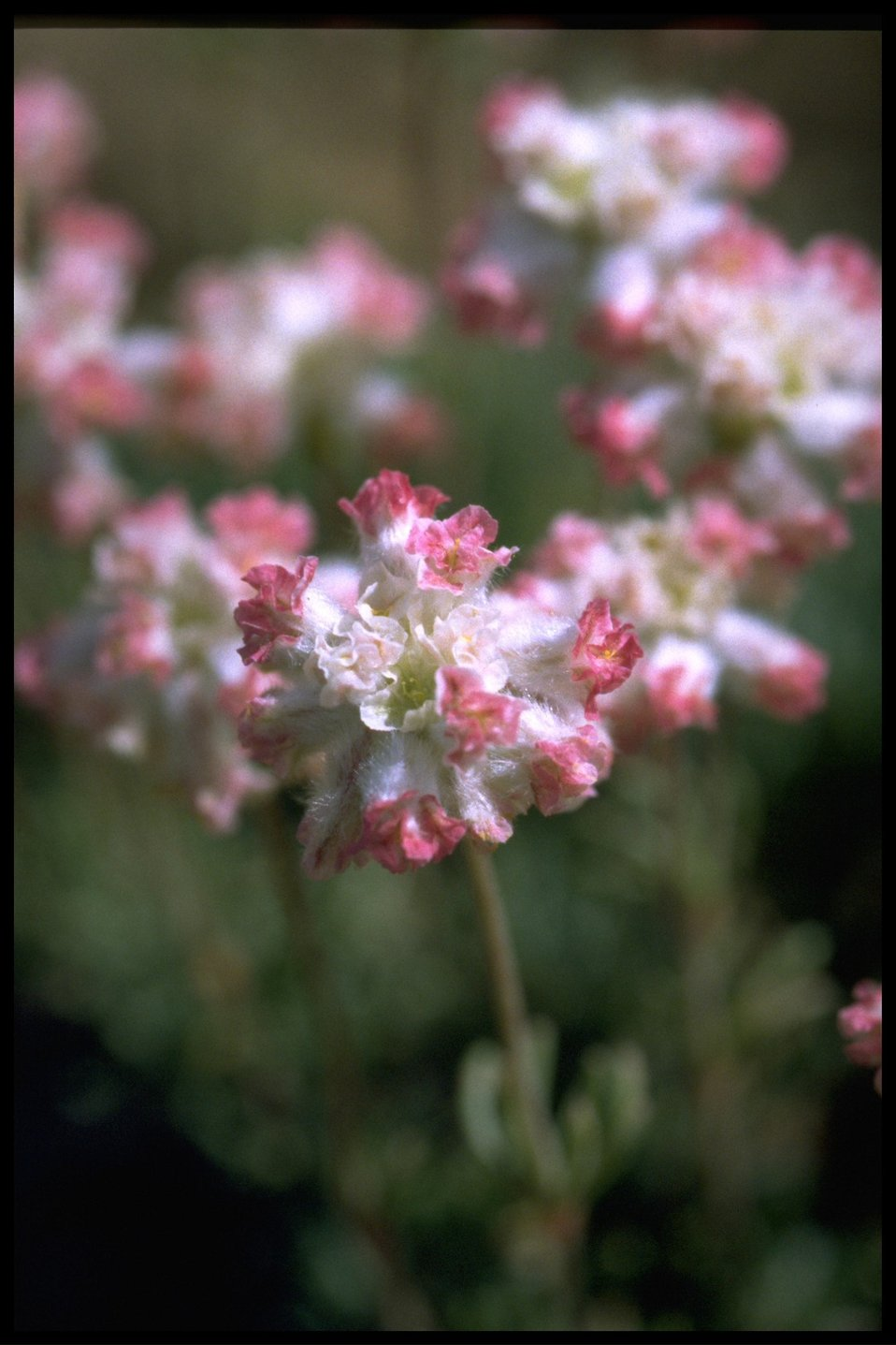 Closeup shot of Thyme-leaved buckwheat wildflowers.