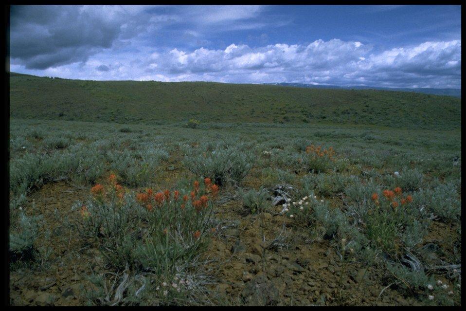 Farshot of Indian Paintbrush wildflowers and sagebrush habitat.