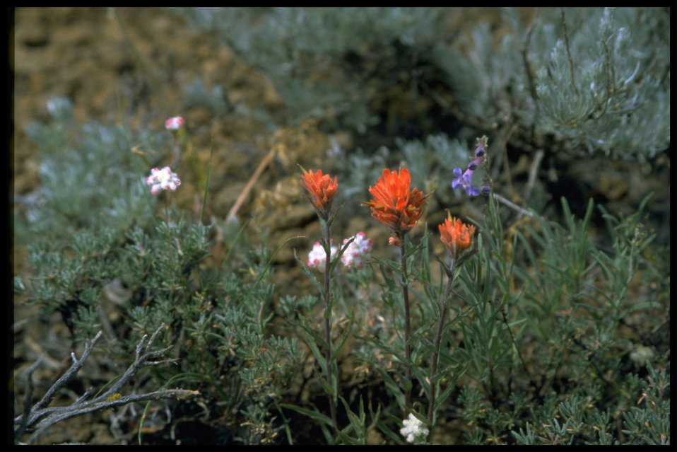 Medium shot of Indian Paintbrush and Fairdner Penstemon wildflowers.