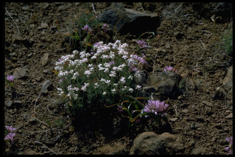 Medium shot of Thyme-leaved Buckwheat wildflowers and Tolmie's onion.