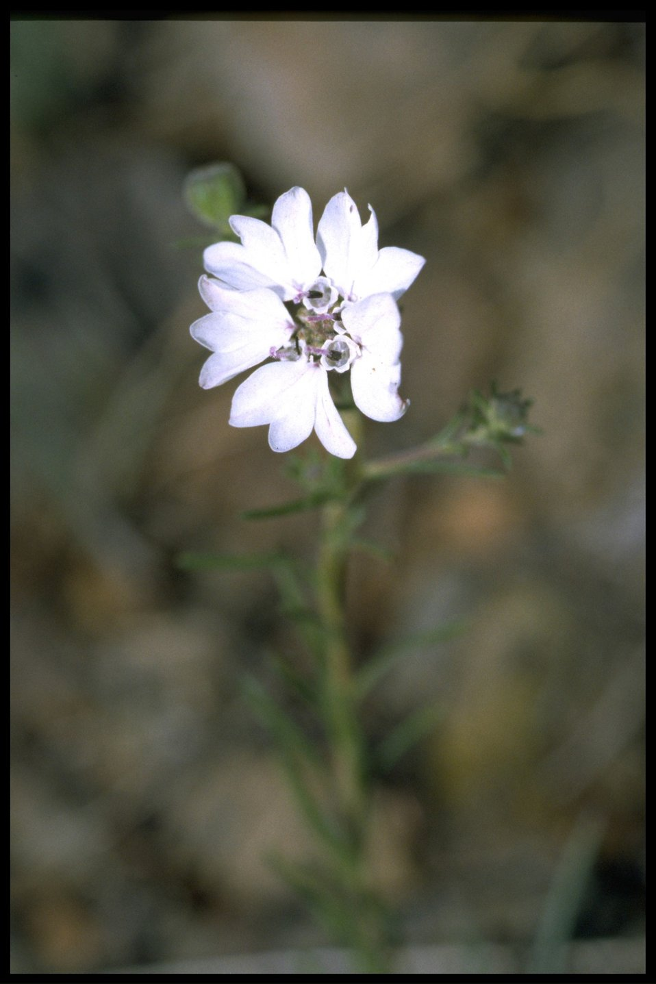 Close up of Belepharipappus wildflower.
