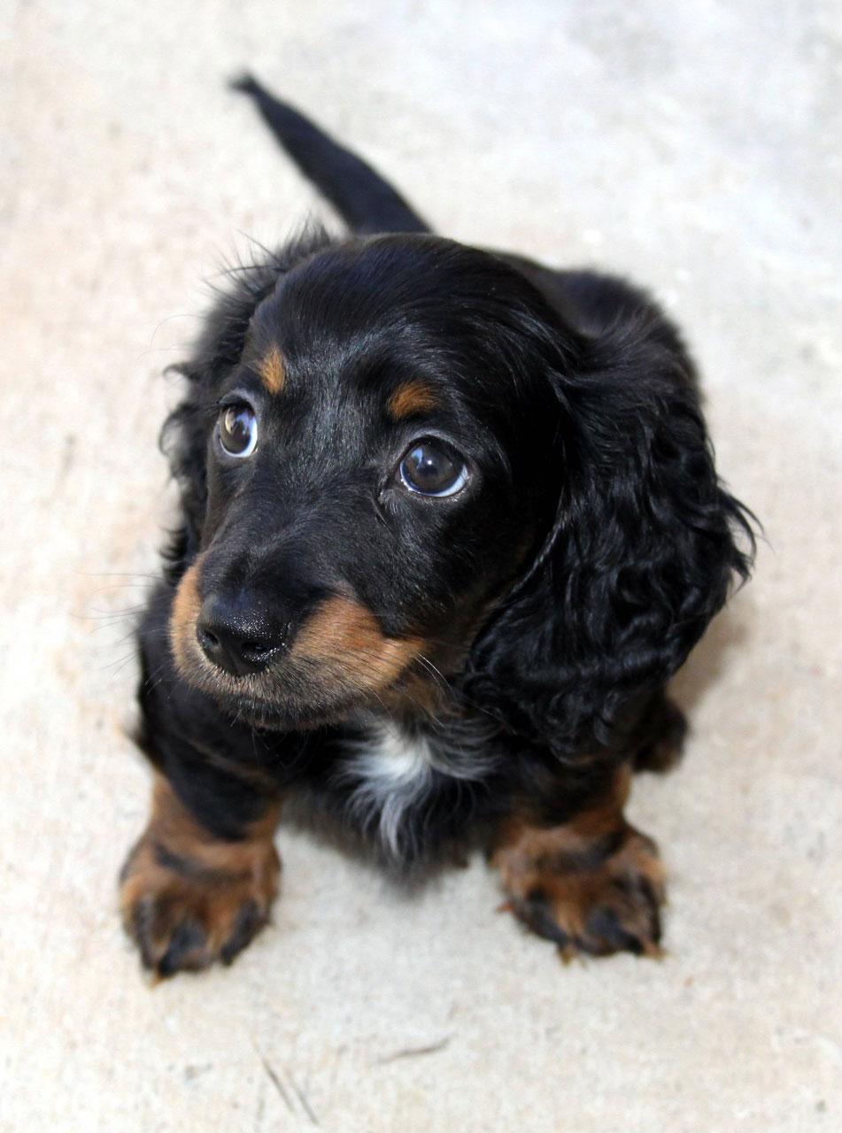 Mini longhair dachshund puppy