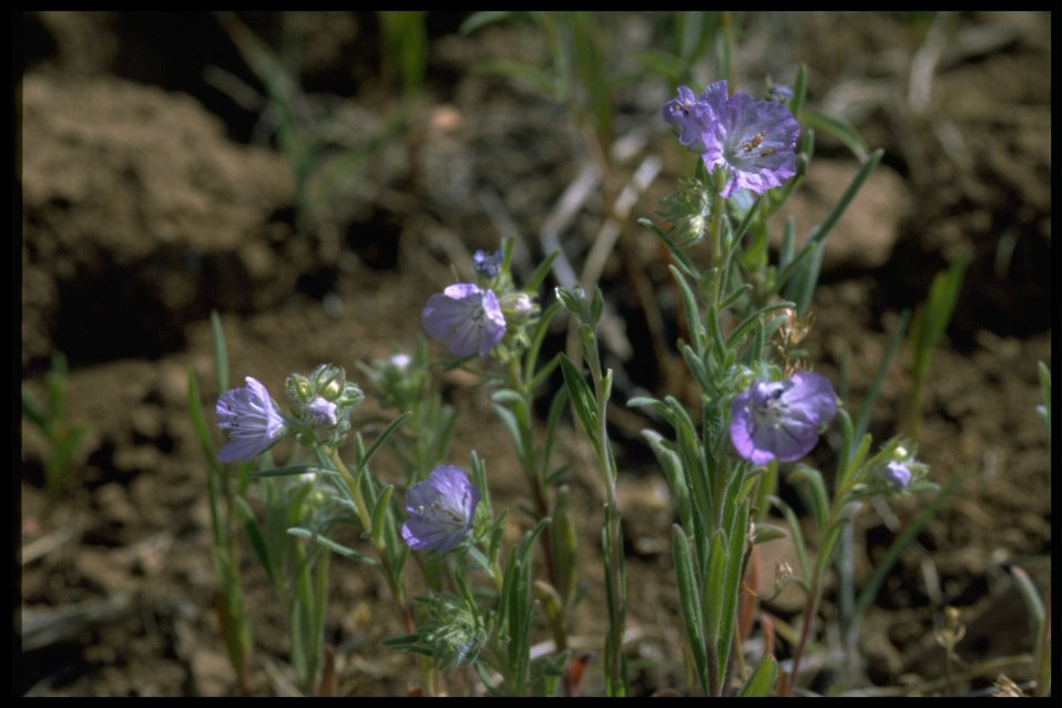 Medium shot of Linear-leaf Phacelia wildflowers.