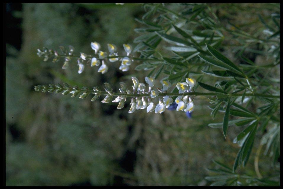Medium shot of Bigleaf Lupine (white and yellow variant) wildflowers.