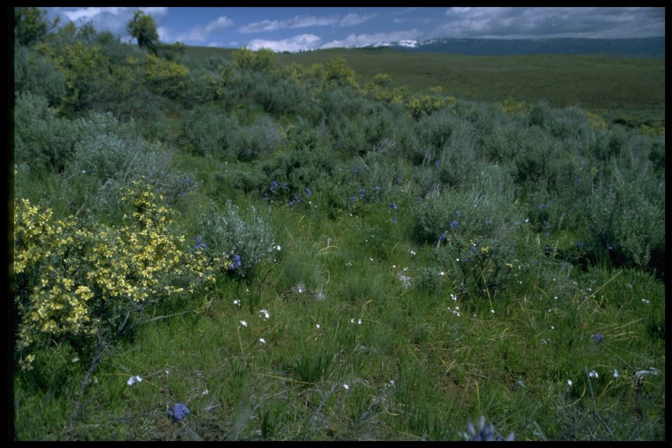 Farshot of Big Sagebrush - Bitterbrush habitat.