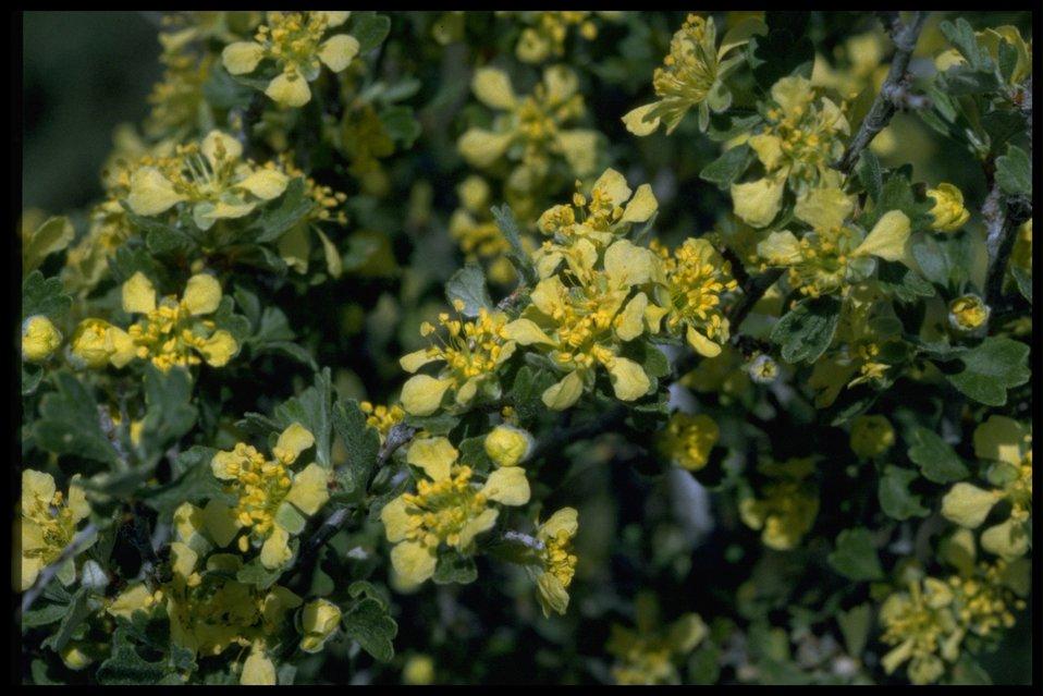 Closeup shot of Bitterbrush flowers.
