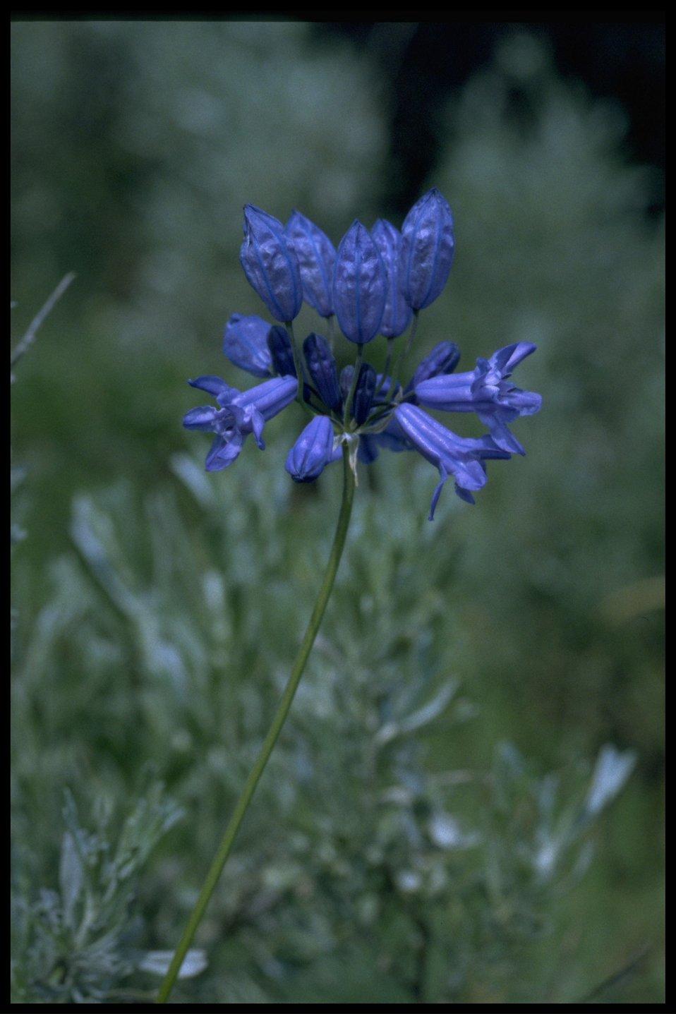 Closeup shot of Douglas' Brodiaea wildflower.