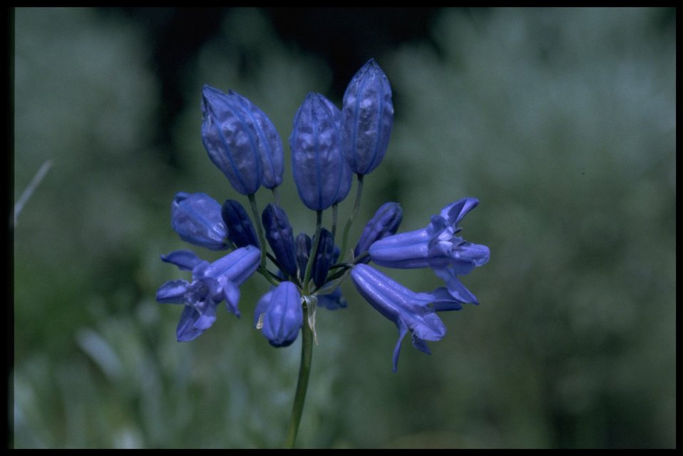 Closeup shot of Douglas' Brodiaea wildflower.