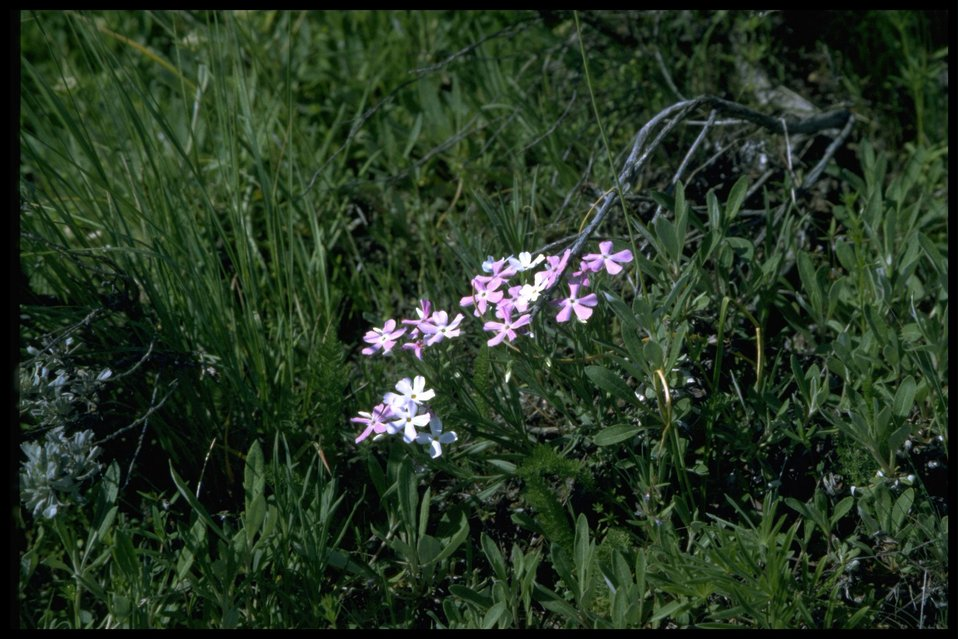 Medium shot of Long-leaf phlox wildflower.