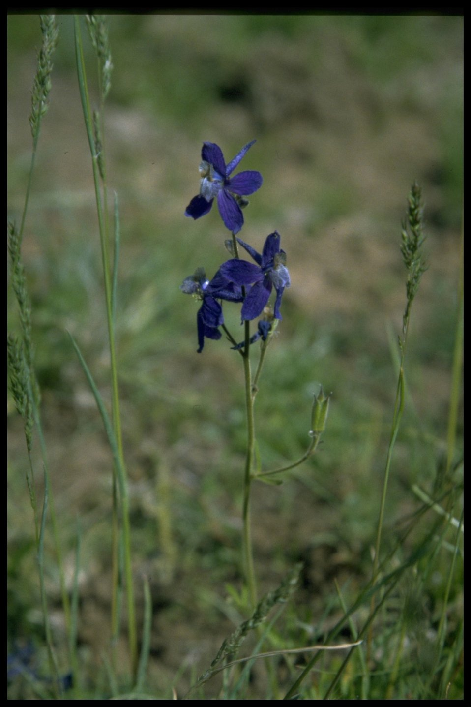 Medium shot of Larkspur wildflower.
