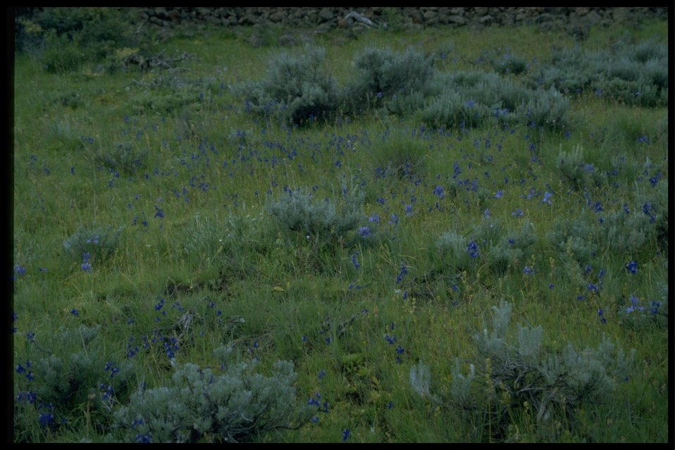 Farshot of Moist Swale with Larkspur and Brodiaea wildflowers.