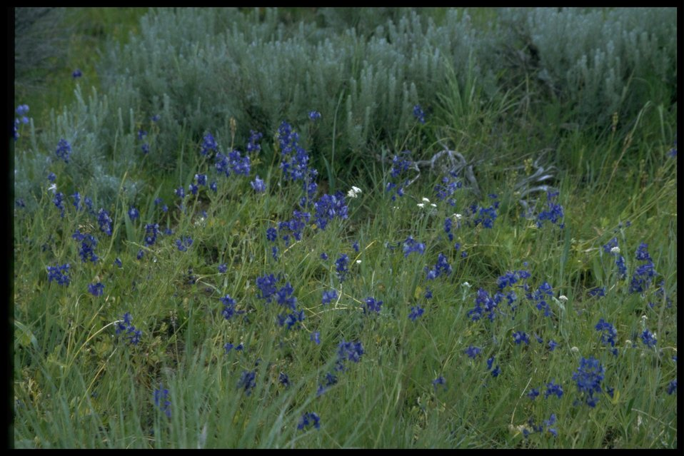 Medium shot of Larkspur in habitat.