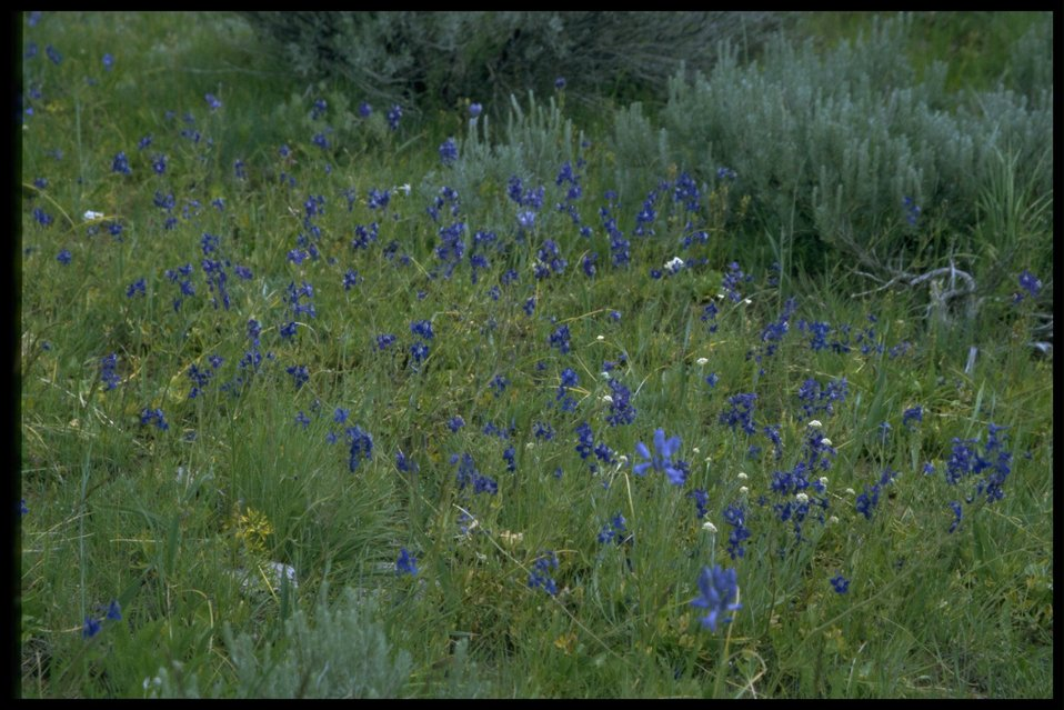 Farshot of Larkspur in habitat.
