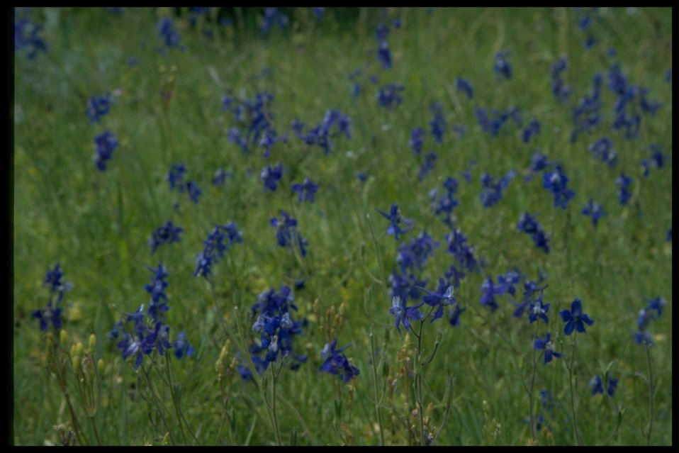 Closeup shot of Larkspur wildflowers.