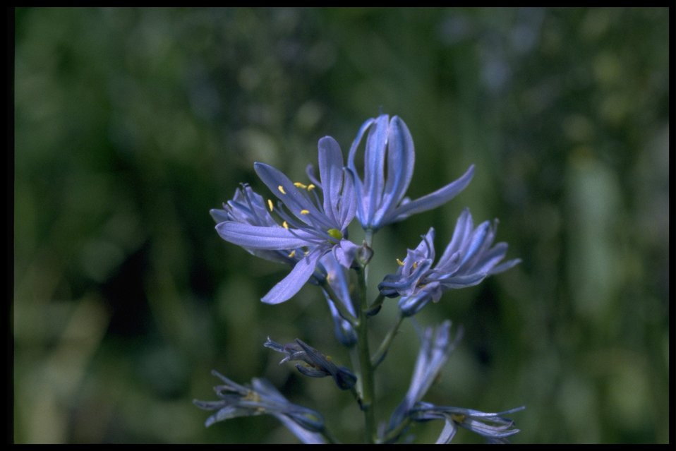Closeup shot of Cusick's Camas wildflower.