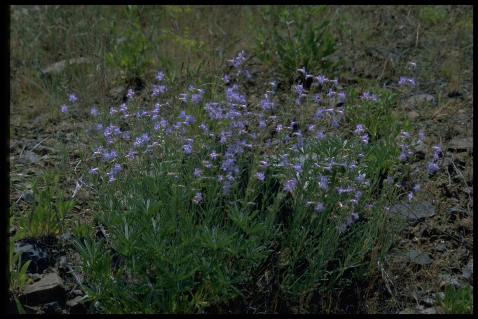 Farshot of Gairdner Penstemon wildflowers.
